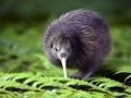 Vták Kiwi