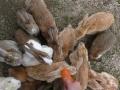 Ostrov králikov Okunoshima