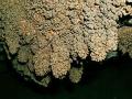 Karfiolovité korality
