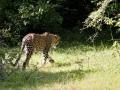 jaguar_sri_lanka_10