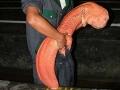 obrovsky-salamander