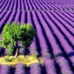 Lavender fields_1