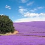 Lavender fields_2