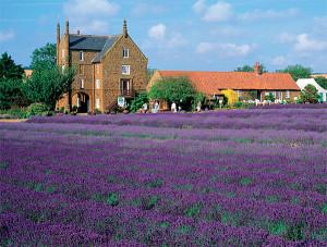 Lavender fields_4