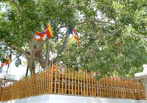 Najstarsi strom_Sri_Lanka_01