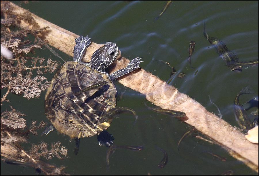 korytnačka, Mavrobara